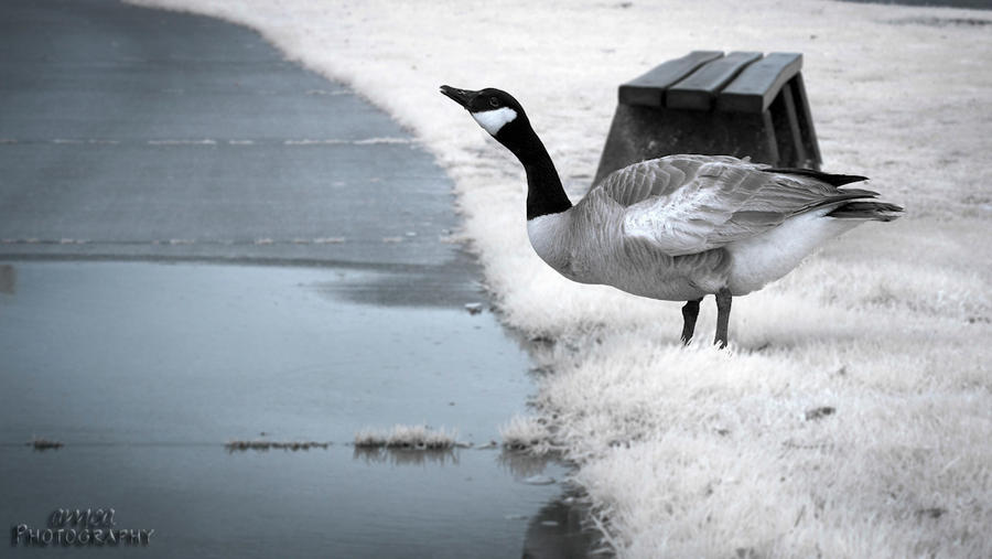 Infrared Goose by Amoakk