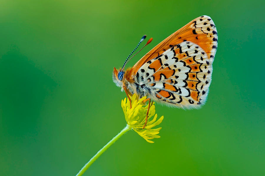 Butterfly 2 by sakaoglu