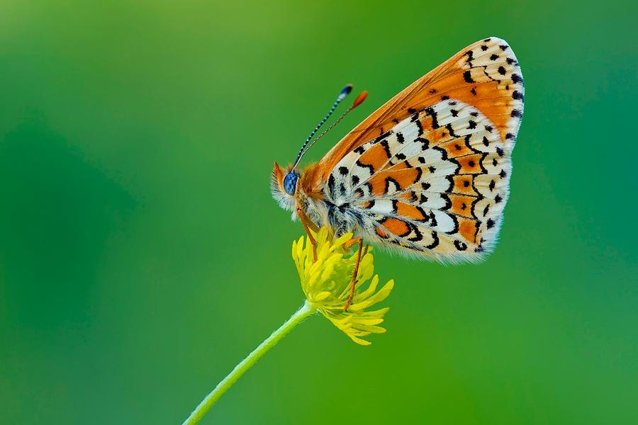 Butterfly 2 by sakaoglu