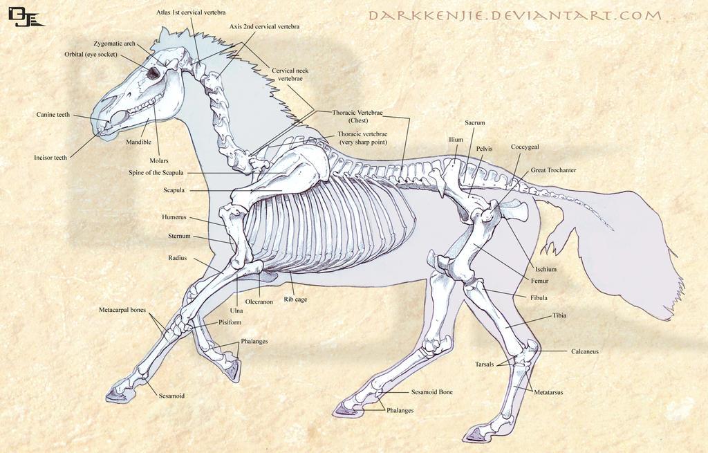 Horse Skeletal Structure by DarkKenjie on DeviantArt