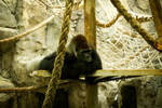 Gorilla ( Barcelona ZooPark)