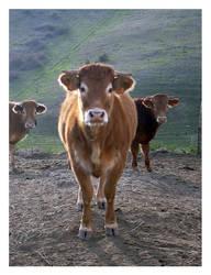 Sweet Cows