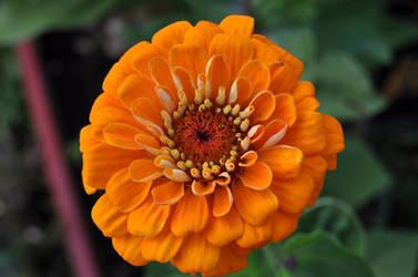 Orange Zinia