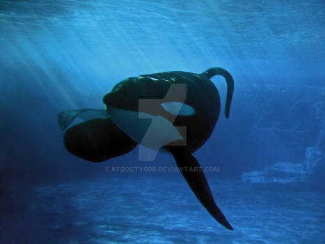 Tranquil Orca