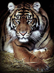 Sumatran Tiger by zvaella