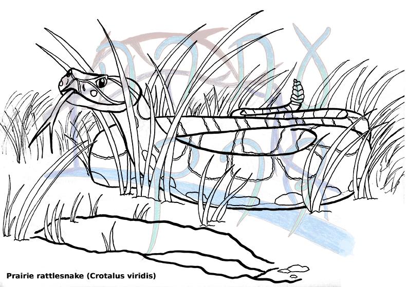 Crotalus viridis by MountainLygon