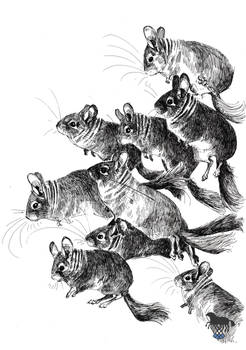 The charge of chinchillas
