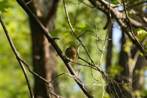 Shy Nightingale by tonixart