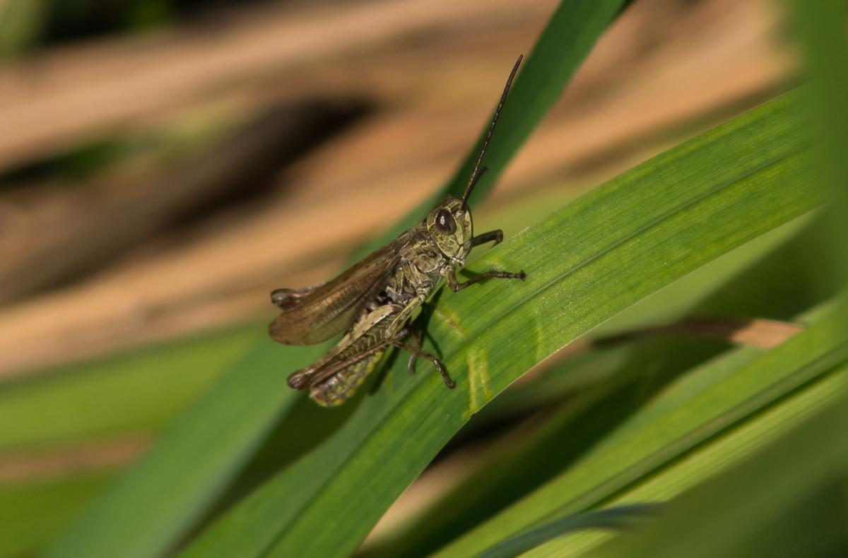 Grasshopper by tonixart