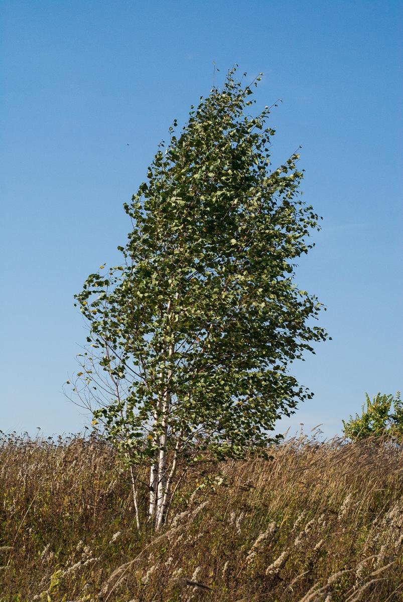 Birch by tonixart