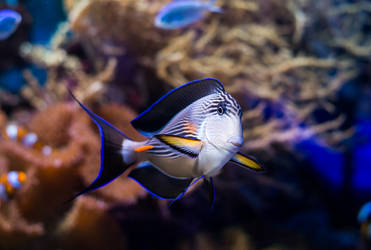 Surgeonfish by tonixart