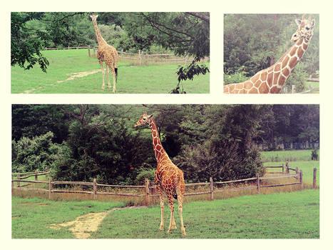 Giraffe emotion