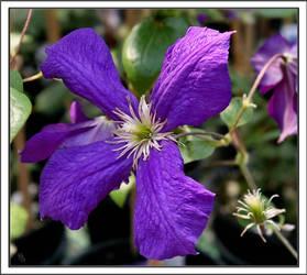 Deep Purple Clematis by deefilly