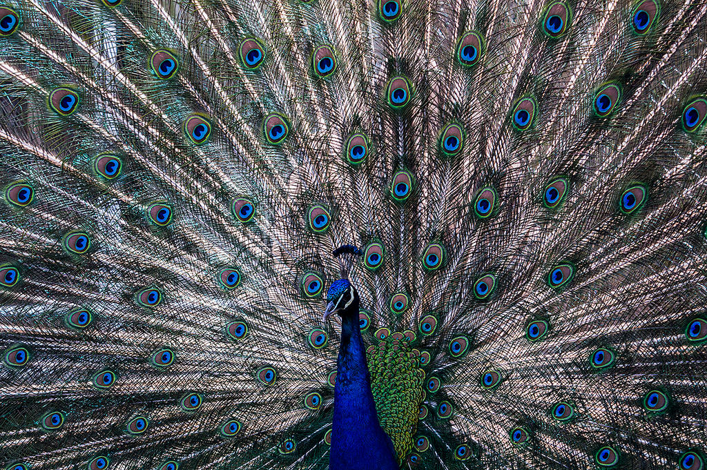 Peafowl by jacekson