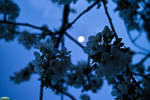 Cherry Blossoms And The Moon