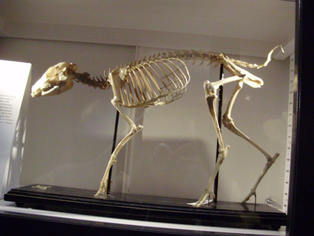Deer skeleton anatomy mouse deer skeleton stock by