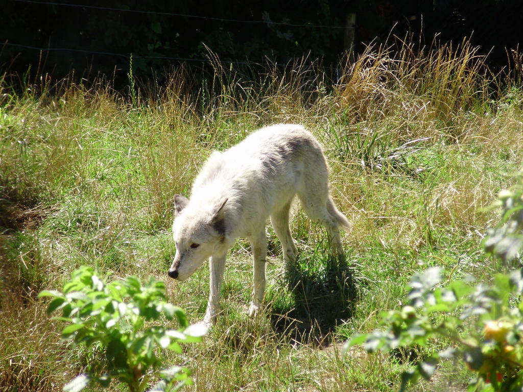 Wolf Stock A by ToscaTerrier