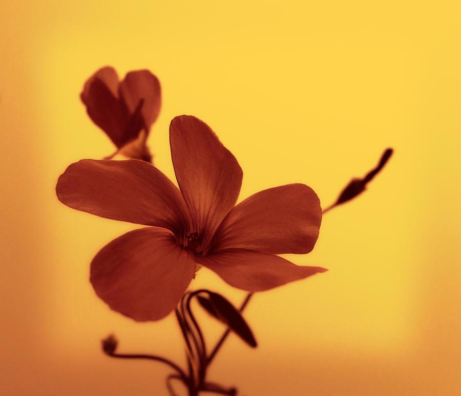 Sienna Flower by cocker666