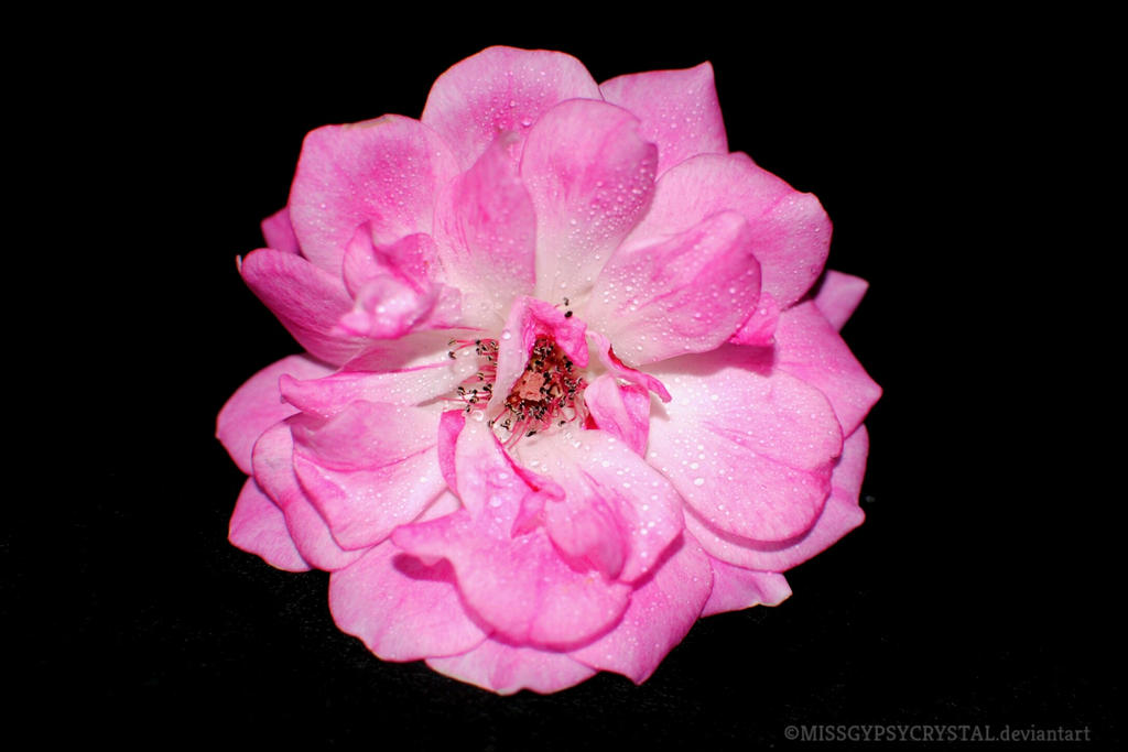 pink flower by MISSGYPSYCRYSTAL