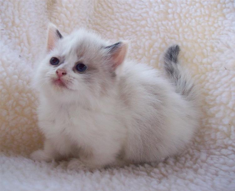 Adorable munchkin kitten by sixtiesmama on deviantart - Prix chat munchkin ...