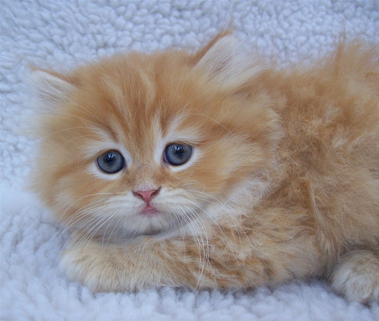 Orange Persian Male Kitten by sixtiesmama on DeviantArt