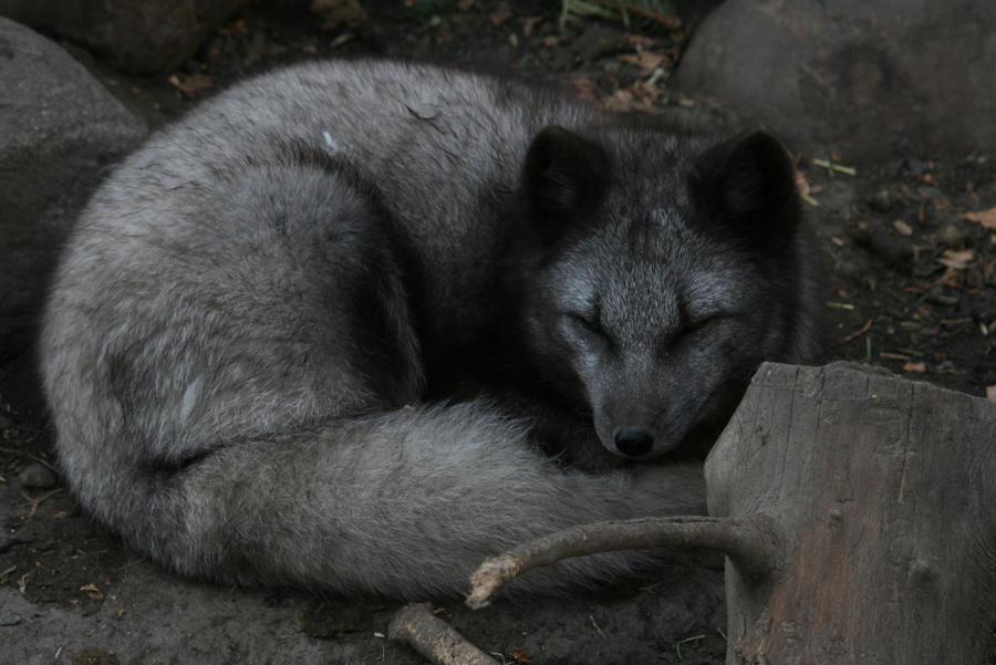Tu daimonion y tú  - Página 4 Black_artic_fox_by_sgt_slaughter-d32y9p9