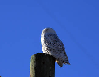 Snowy Owl on pole by sgt-slaughter
