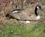 Newly Hatched Canada Geese