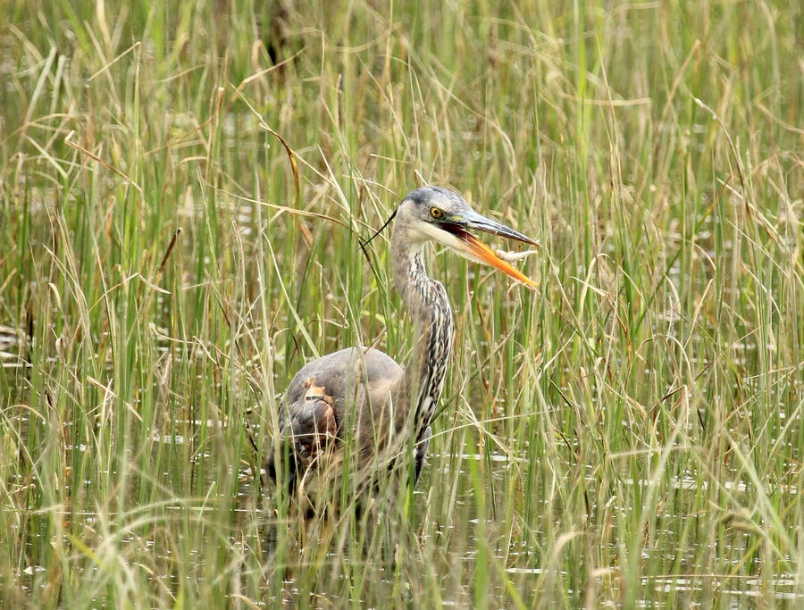 Great blue heron fishing by sgt slaughter on deviantart for Blue heron fishing