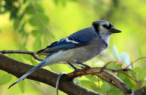 Blue Jay by sgt-slaughter