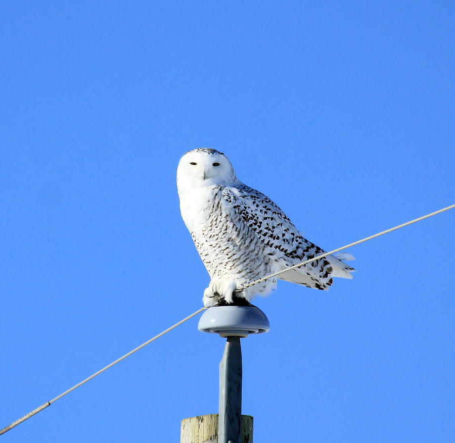 Snowy Owl by sgt-slaughter