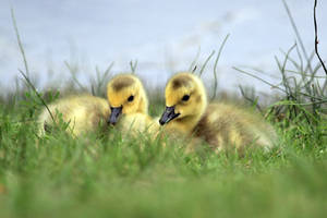 Goslings by sgt-slaughter