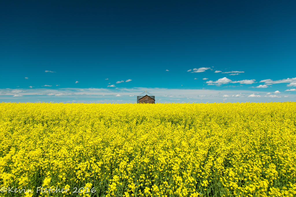 Canola Field by sgt-slaughter