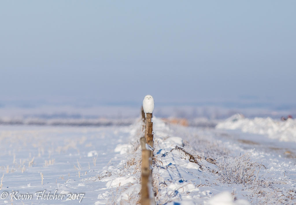 Snowy Owl 02 January 03 2017 by sgt-slaughter