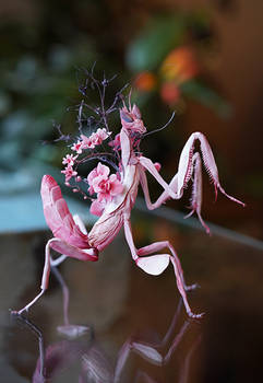 orchid mantis process