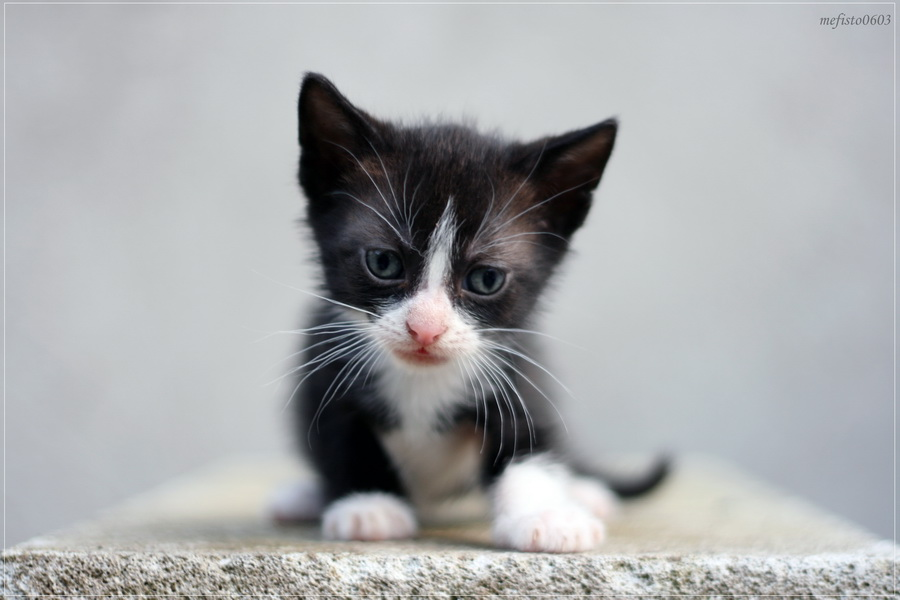 Black and white kitten by mefisto0603