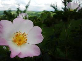roses' like by Jemura42