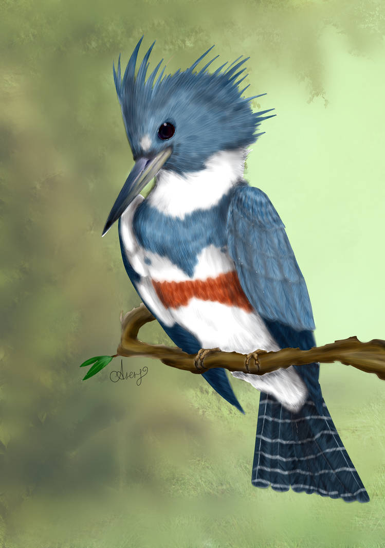 Belted kingfisher (Megaceryle alcyon )
