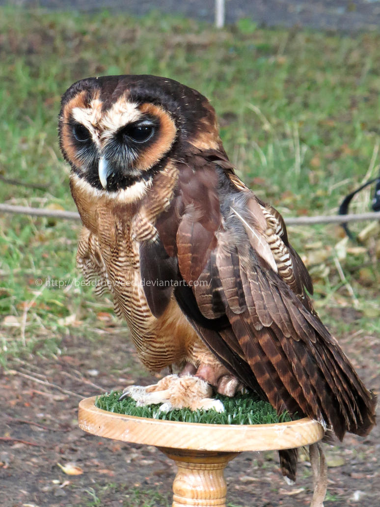 Asian Wood Owl 10