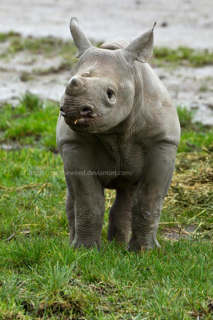 baby rhino by beadtheweed on deviantart