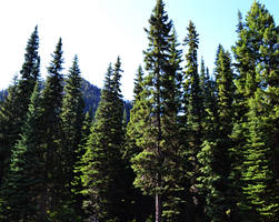 STOCK - Coniferous Forest 1 by jocarra