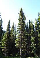 STOCK - Coniferous Forest 2 by jocarra