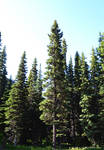STOCK - Coniferous Forest 2