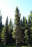 STOCK - Coniferous Forest 2