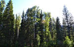 STOCK - Coniferous Forest 3