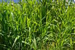 STOCK - Long Green Grass 1