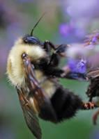 Bumblebee by lynsea