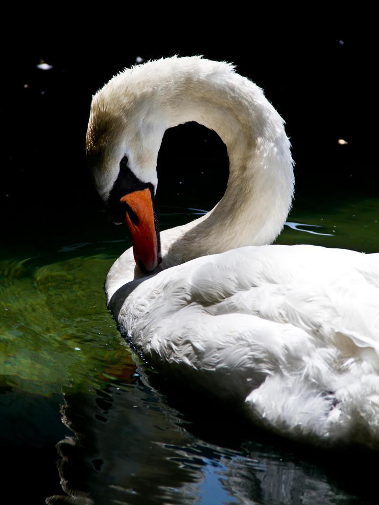 Swan by Flyxer15