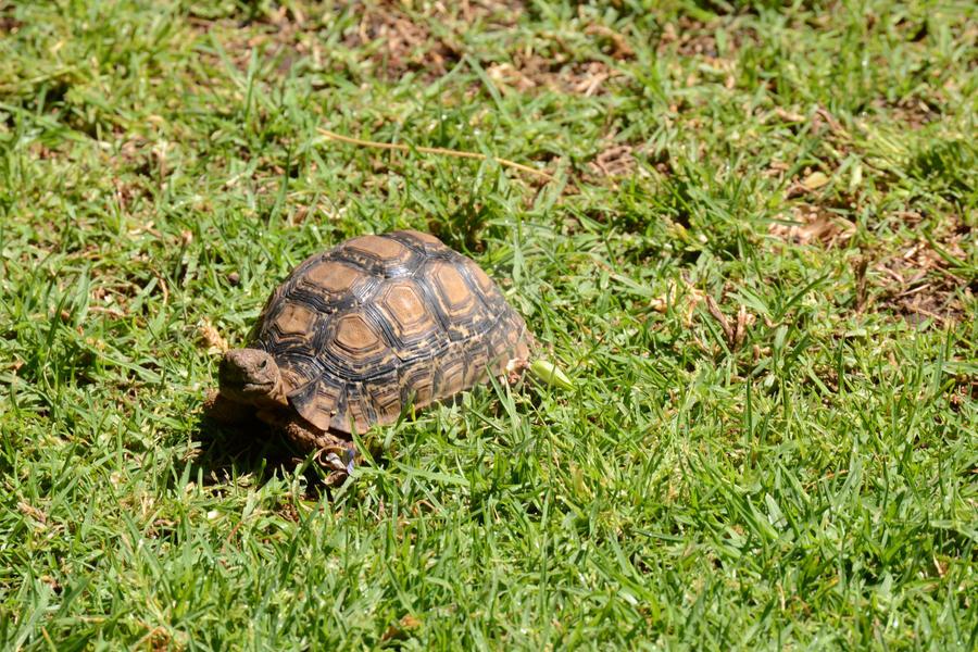 Pet Tortoise by CursedChild95
