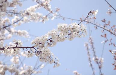 Cherry blossoms by envyinwondrland